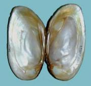 A mussel shell showing the mother-of-pearl layer. Credit: National Oceanic and Atmospheric Administration
