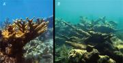 More acidic ocean waters can damage corals, image A shows healthy coral, image B shows damaged coral. Credit: USGS