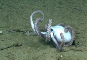 """Octopuses coordinate eight """"arms"""" to crawl across the ocean floor. Credit: National Oceanic and Atmospheric Administration"""