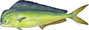 Dolphinfish, or mahi-mahi, are a sustainable seafood choice. Credit: NOAA Fishwatch.gov