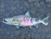 Chum salmon. Credit: USGS, Western Fisheries Research Center.