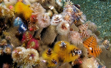 Christmas Tree Worms Stay Spirited All Year Science And The Sea